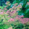 Vine Maple Acer circinatum