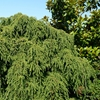 Weeping Hemlock Tsuga canadensis