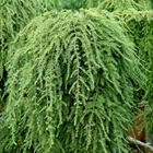 Weeping Hemlock Tsuga canadensis 'Pendula' ('Sargentii')