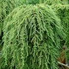 Weeping Hemlock Tsuga canadensis 'Pendula' ('Sargentii')