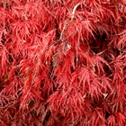 Weeping Japanese Maple Acer palmatum dissectum 'Inabe Shidare'