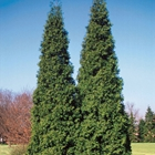Western Redcedar Thuja plicata 'Spring Grove'