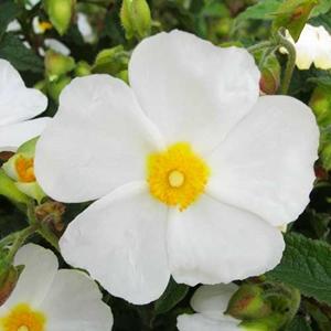 Cistus Elma White Rockrose White