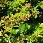 William Penn Barberry Berberis gladwynensis 'William Penn' Yellow