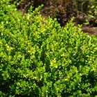 Winter Gem Japanese Boxwood Buxus microphylla japonica 'Winter Gem'