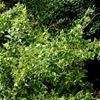 Wintercreeper Euonymus fortunei