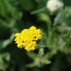 Yarrow Achillea 'Coronation Gold' Yellow