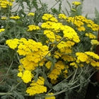 Yarrow Achillea 'Moonshine' Yellow