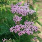 Yarrow Achillea millefolium 'Lilac Beauty' Pink