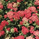 Yarrow Achillea millefolium 'Paprika' Red