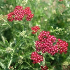 Yarrow Achillea millefolium 'Summerwine' Red