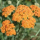 Yarrow Achillea millefolium 'Terra Cotta' Orange