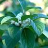 Yellowtwig Dogwood Cornus sericea